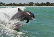 dolphins-in-wave